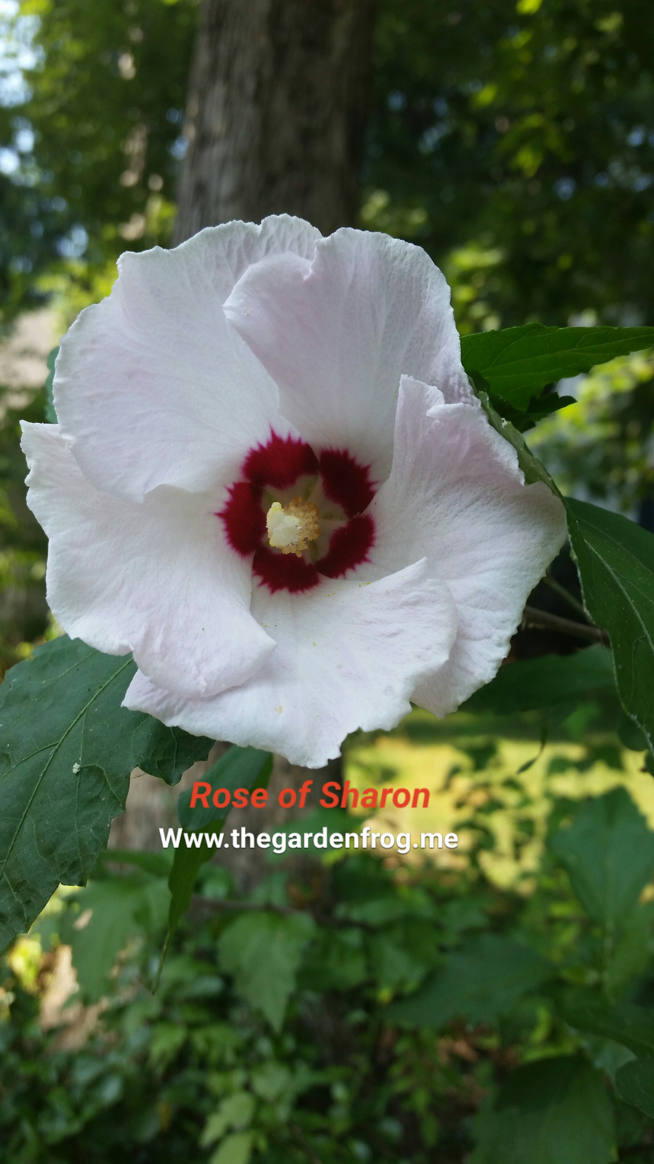 Beware Of The Rose Of Sharon Althea In Your Garden