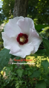 Rose of Sharon, Althea shrub, Hibiscus syriacus