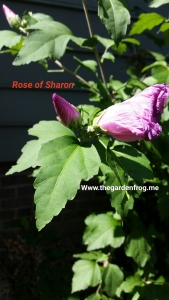 Rose of Sharon, Althea, Hibiscus syriacus