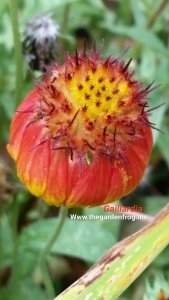 Blanket flower, Gaillardia, native