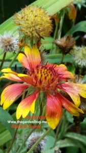 Gaillardia, Blanket flower, native