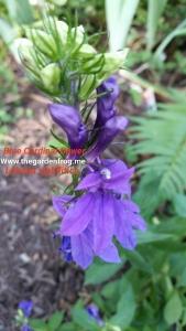 Blue Cardinal flower, blue lobelia, Lobelia sipilitica