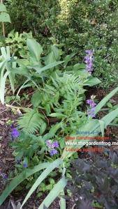 Blue Cardinal flower, Lobelia syphilitica, blue lobelia