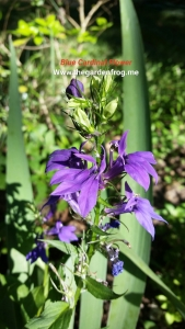 Lobelia siphilitica, Blue lobelia, Blue Cardinal flower