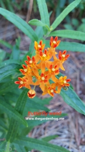 Asclepias tuberosa, Butterfly Weed, native plant, butterfly plant