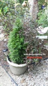 Emerald Beauty Arborvitae, container gardening with Arborvitaes