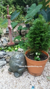 Container gardening with Arborvitaes for year round interest
