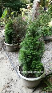 Arborvitae in container gardening