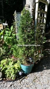 Arborvitae in pots