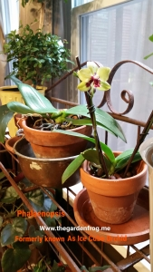 6 tips you should know to grow your Phalaenopsis (formerly known as the Ice Cube Orchid