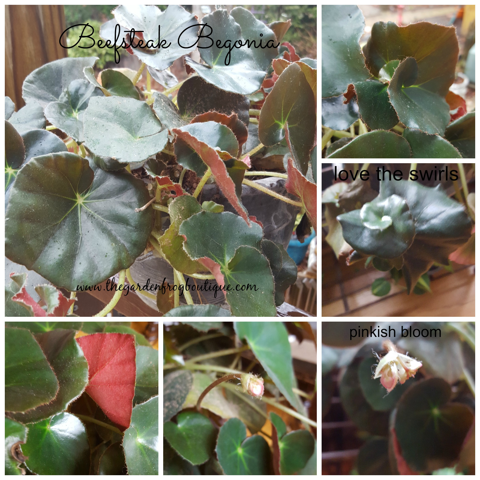 Beefsteak Begonia (Begonia erythrophylla)