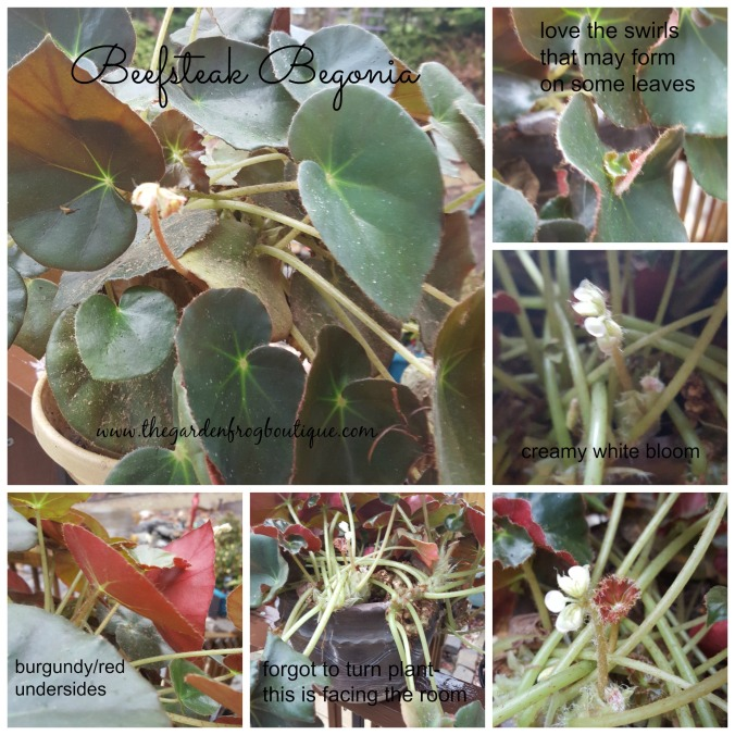 Beefsteak Begonia, Begonia erythrophylla