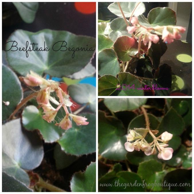 Beefsteak Begonia, Begonia
