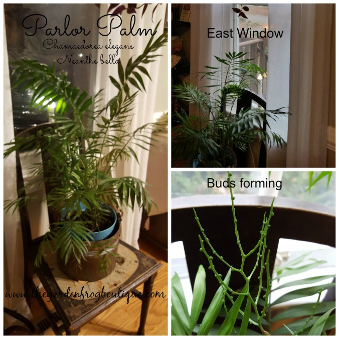 Parlor Palm, Chamaedorea elegans, Neanthe bella, Parlor Palm houseplant care