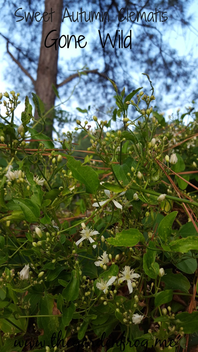 Sweet Autumn Clematis, Clematis terniflora, invasive vine, fall bloomer