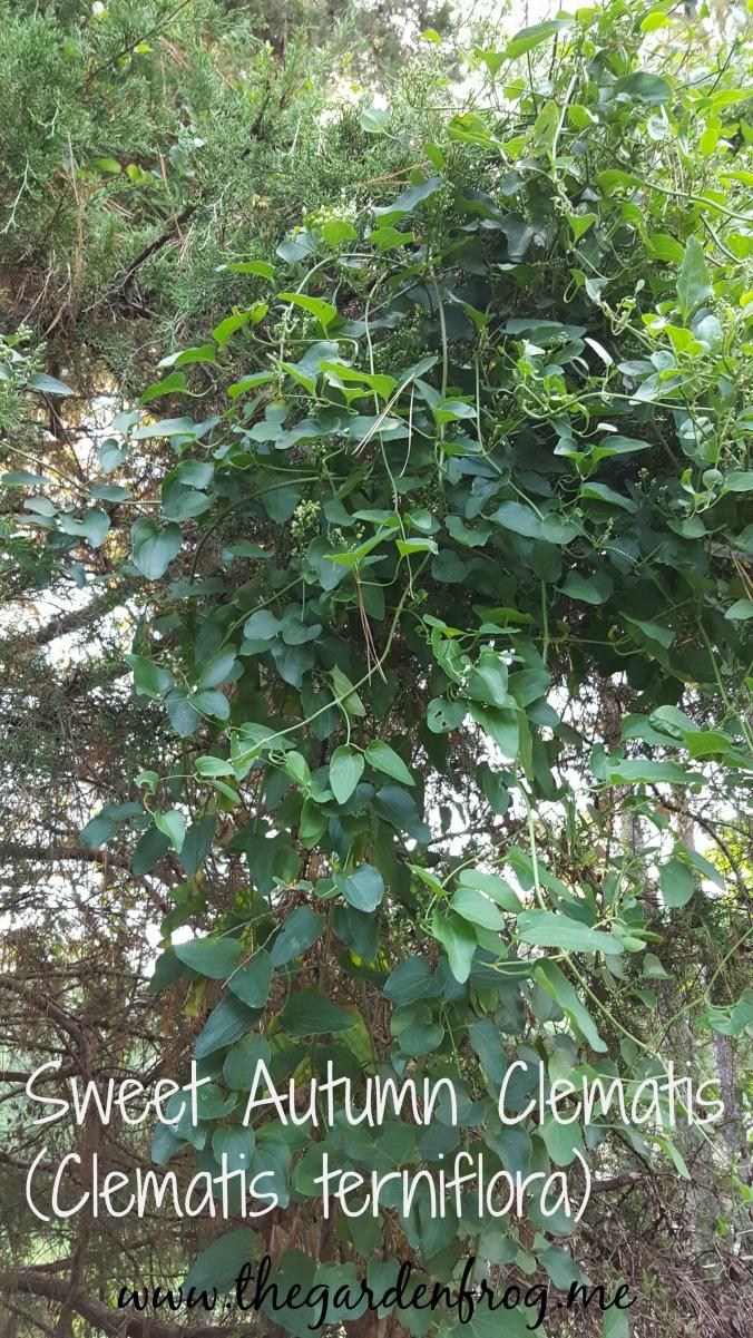 Sweet Autumn Clematis, Clematis terniflora, invasive vine