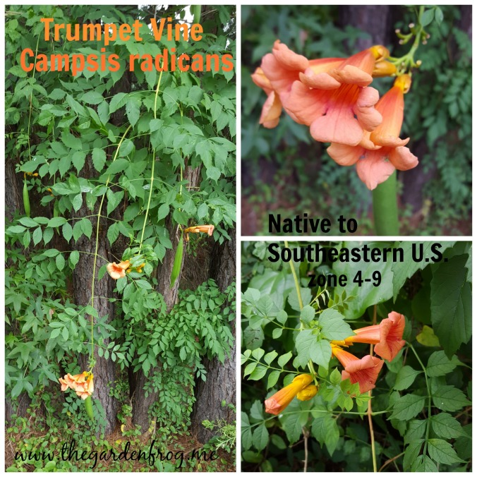 The wild untamed Trumpet Vine, Trumpet Creeper, hummingbird magnet