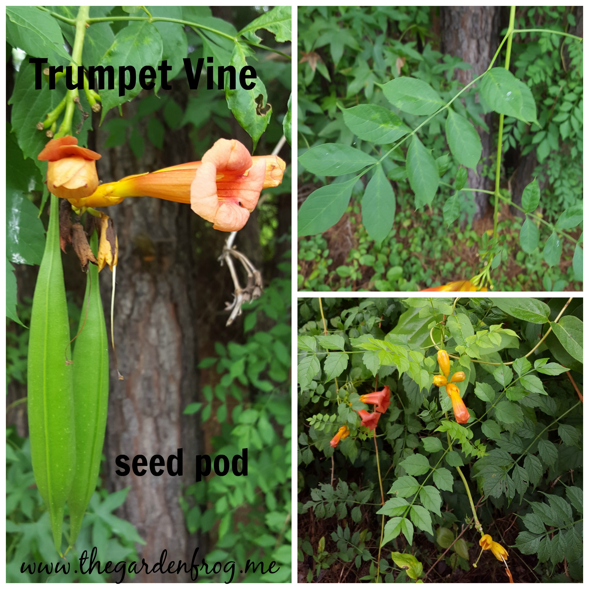 The wild untamed Trumpet Vine, Trumpet creeper, hummingbird magnet, native flower