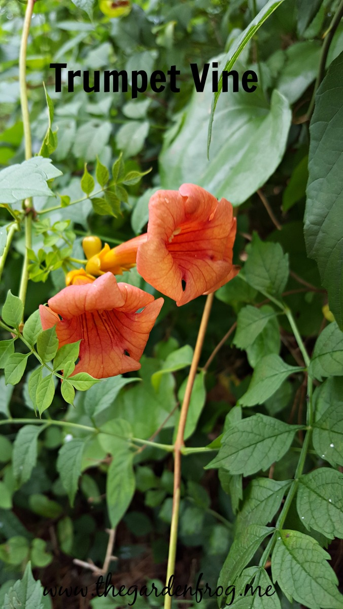 Wild, untamed Trumpet Vine, Trumpet Creeper, native vine, hummingbird flower