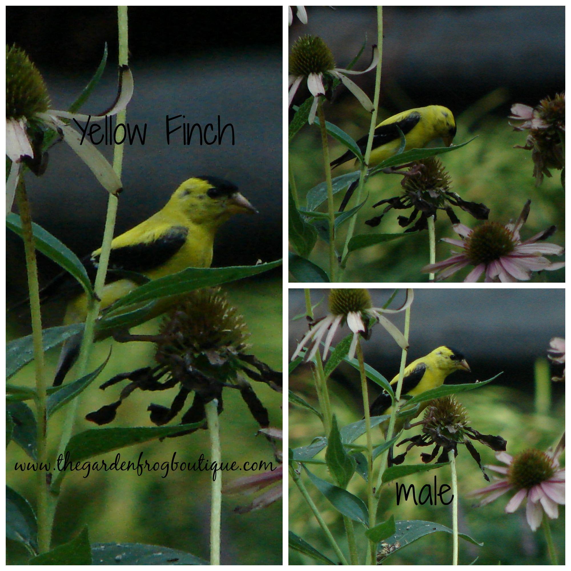 Yellow Finch male