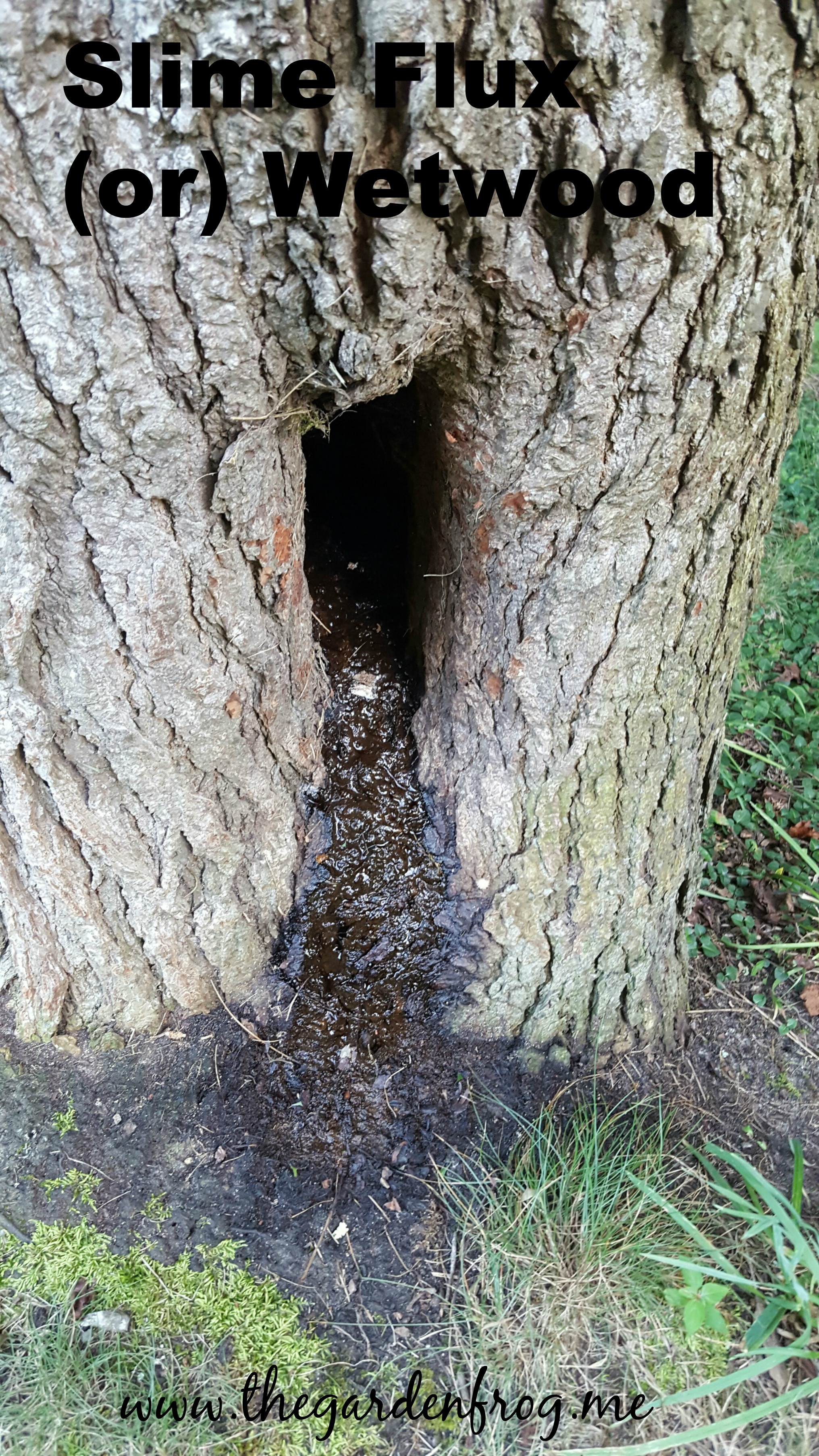 What is this smelly tar like substance oozing from my tree? Slime Flux or Wetwood