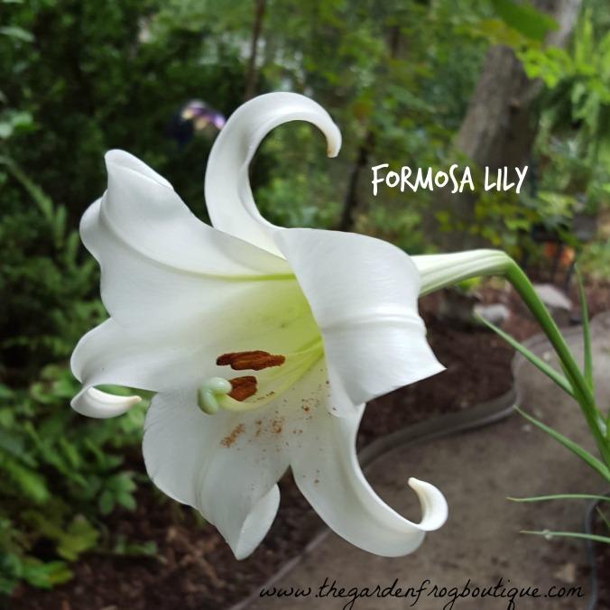 Formosa lily, Formosan lily, Lilium formosanum