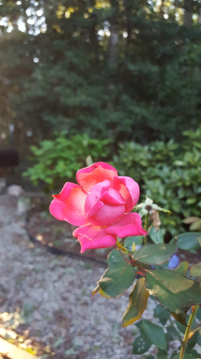 Knockout Rose, Rose Rosette Disease