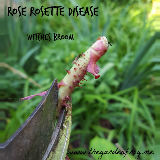 Rose Rosette Disease witches broom