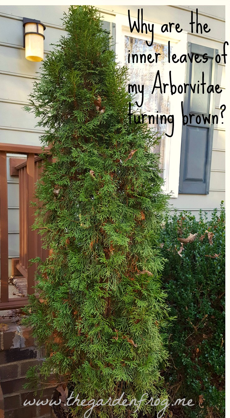 Why are the inner leaves of my Arborvitae turning brown?